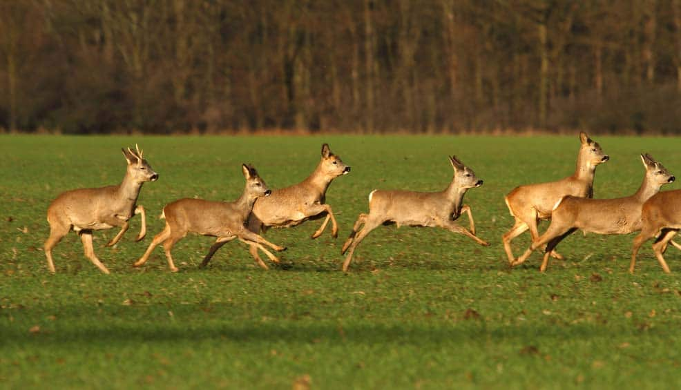 How Fast Can A Deer Run?